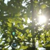 树间阳光高清实拍视频素材 Videohive Leaf In The Sun 8232259 Stock Footage